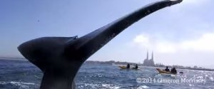 Kayak Humpback Whale Monterey Bay