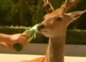 Deer Drinks Beer