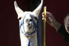 Llama being measured | Pic: Philip Toscano/PA Wire