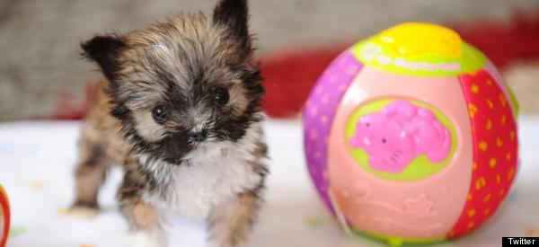 This (Really, Really) Little Cutie May Be The Smallest Dog In Britain