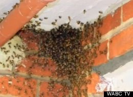 Un-bee-lievable: 50,000 Bees Living In NYC Ceiling
