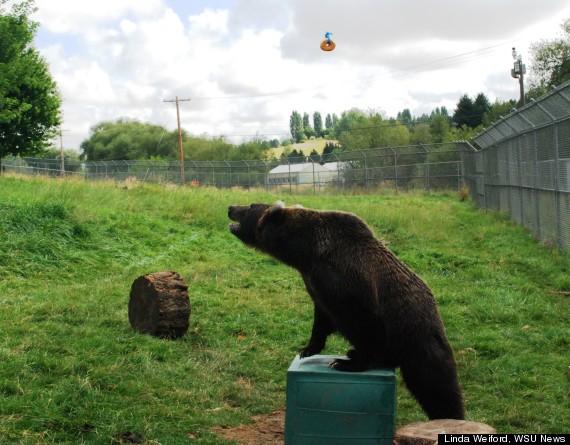 kio grizzly bear