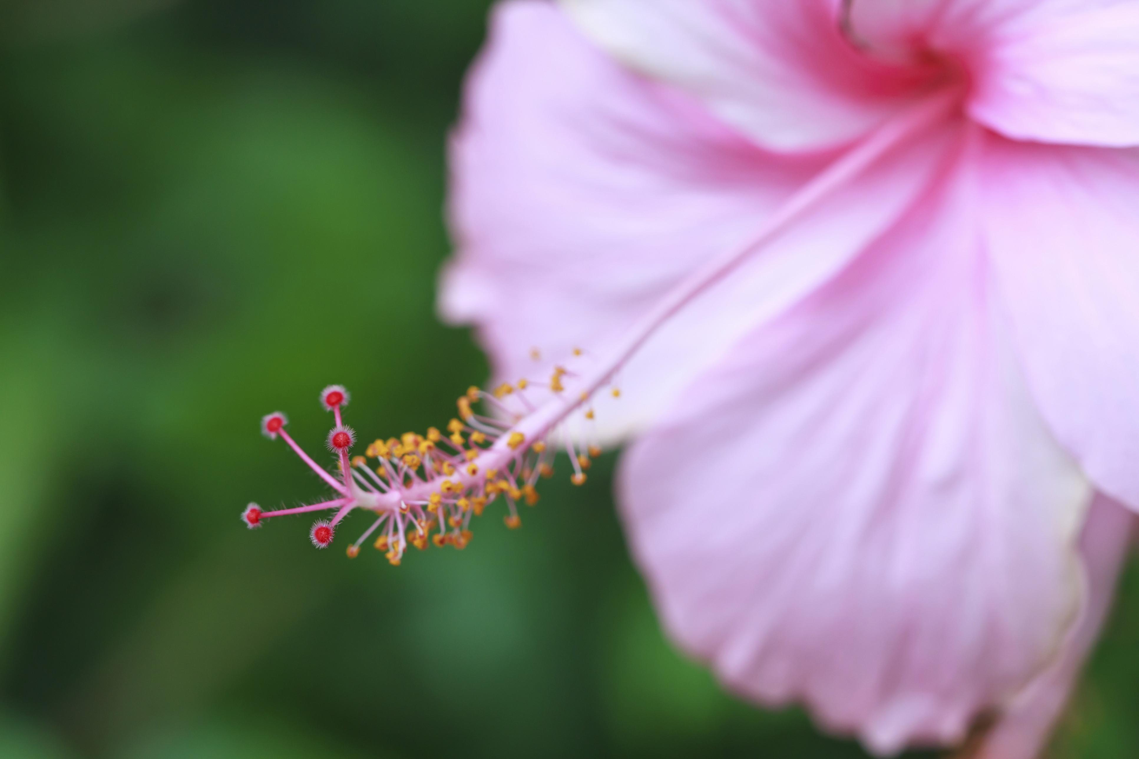 hibiscus korea
