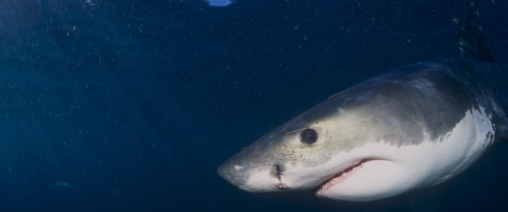 JUVENILE WHITE SHARK