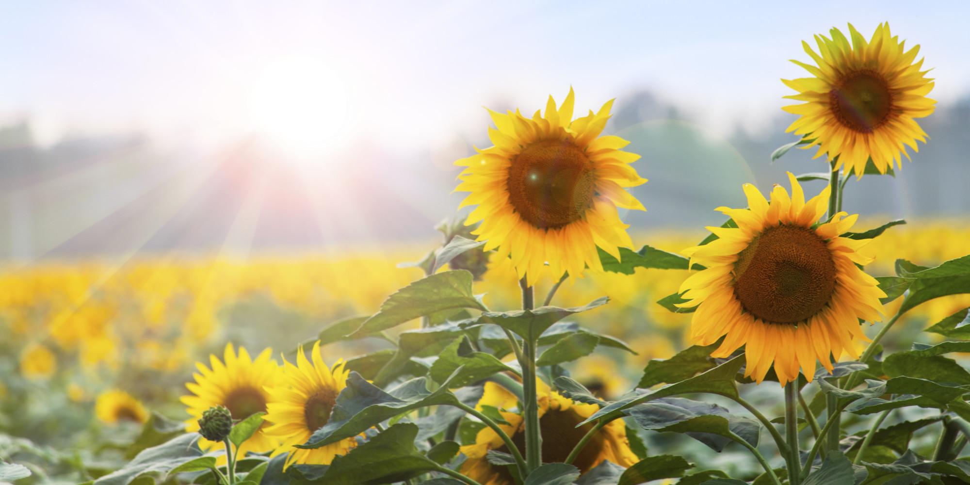 Plantas para la buena fortuna y protecci n huffpost - Planta de la buena suerte ...
