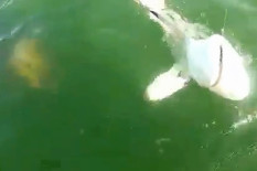 Fish approaching shark from below | Pic: YouTube