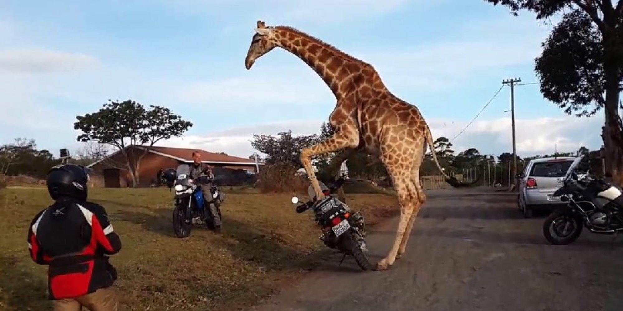 http://i.huffpost.com/gen/1991287/images/o-GIRAFFE-MOTORCYCLE-facebook.jpg