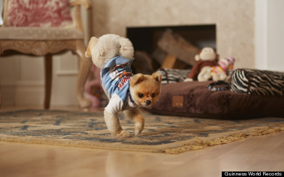 jeff the pomeranian jiff the pomeranian is fastest dog on two legs according 1064