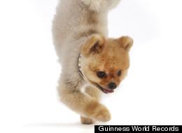 Dog Star Of Katy Perry Video Is Fastest Dog On 2 Legs