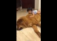 Gentle Giant Dog Sits Calmly As Tiny Girl Climbs All Over Him