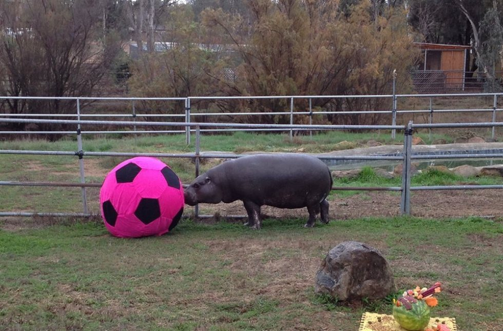 Hannah The Pygmy Hippo Was Rescued From A Backyard. Now She Lives A Life Of Playful Bliss
