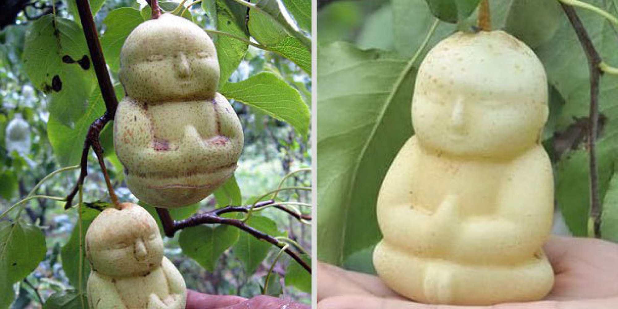 Fruit-Growing Genius Shapes Pears Into Tiny Buddhas