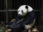 Did This Panda Fake A Pregnancy For More Food?