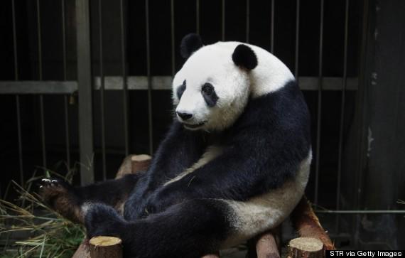 ai hin panda