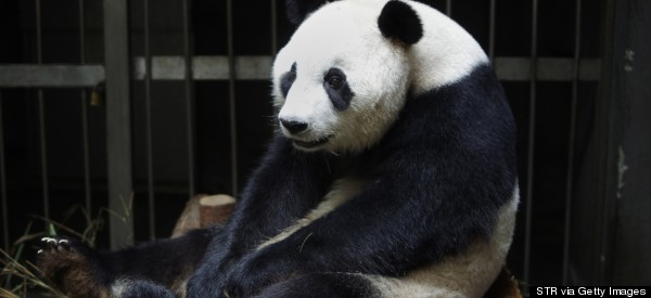 This Panda Is Apparently A Benefit Cheat