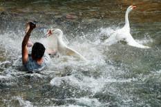 Geese attacking man   Pic: CEN
