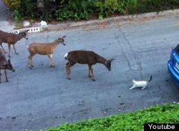 http://i.huffpost.com/gen/2000604/thumbs/s-CAT-DEER-MEET-large.jpg