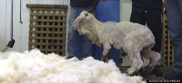 Shaun The Shaggy Sheep Finally Shorn
