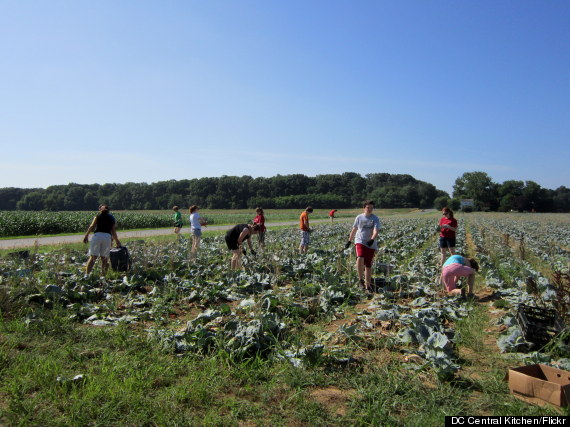 gleaning cabbage
