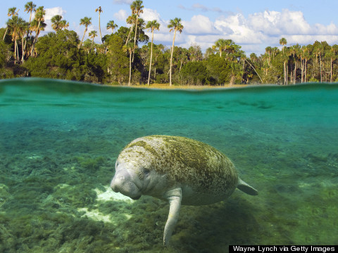 Manatees May Soon Lose Their Endangered Status