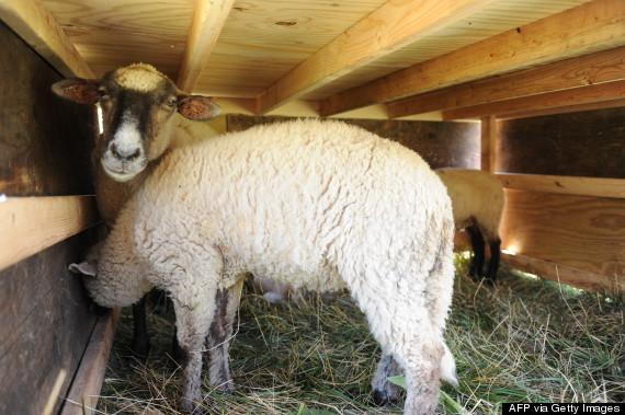 ohare goats