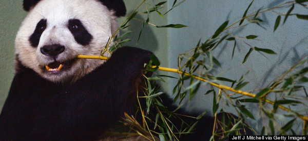 If You Can't Handle Any More Bad Panda-Related News, Look Away Now