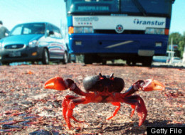 Crab Crossing Guard