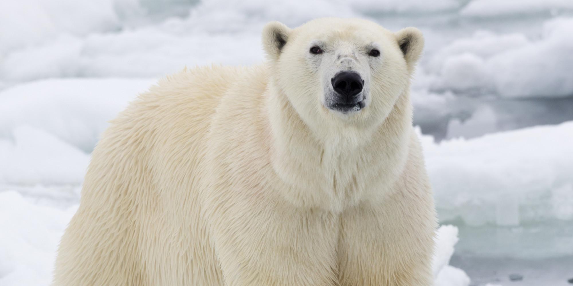 The Polar Bear S Vanishing World Dr Steven C Amstrup