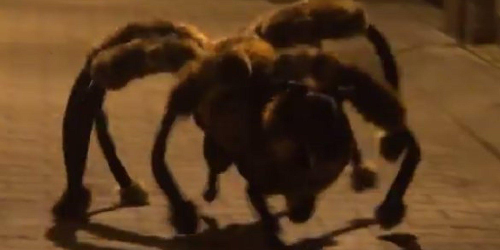 Dog Dressed Up Like A Spider