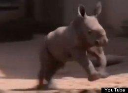 When This Baby White Rhino Gallops, Everything Feels Right In The World
