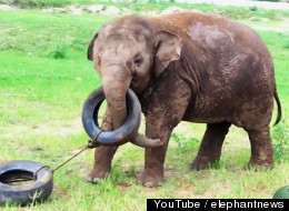 Adorable Baby Elephants Play With Tires, Ride Away With Our Hearts