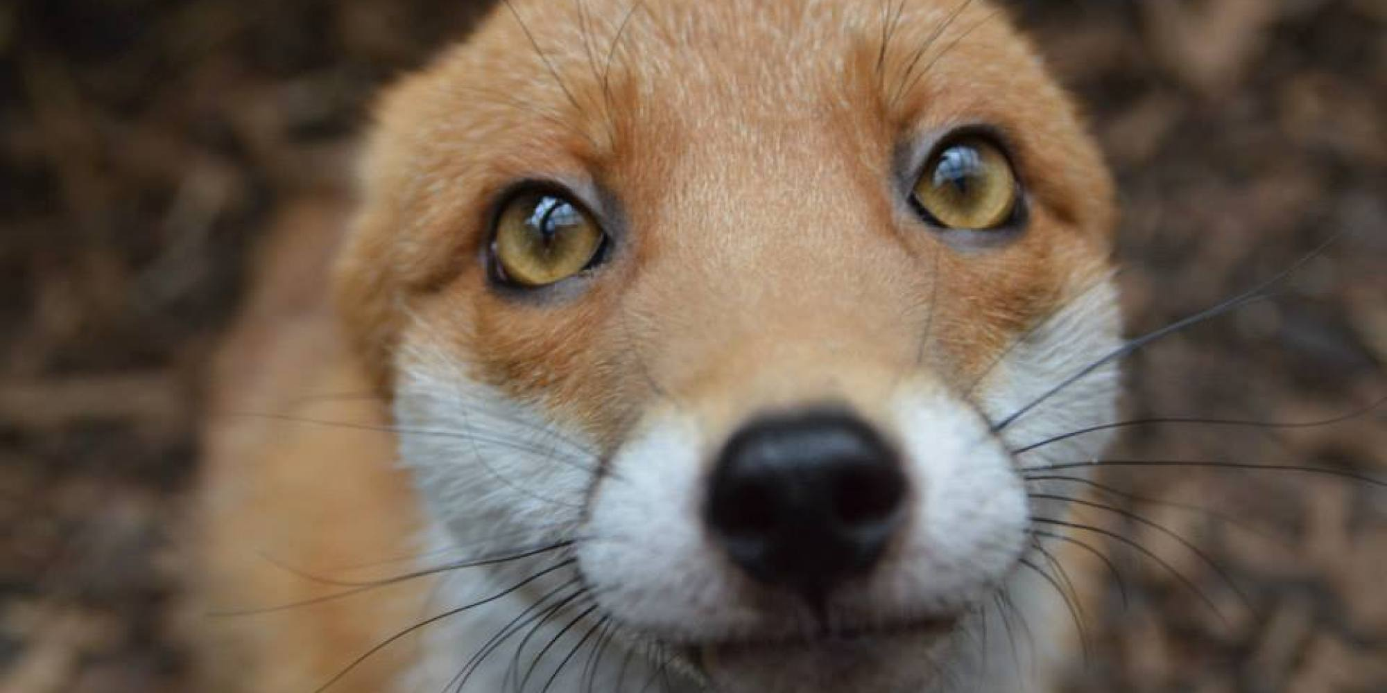 Ridiculously Photogenic Fox Is Just Too Friendly To Leave ...