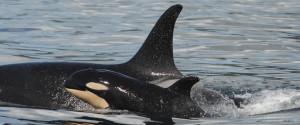 BABY ORCA