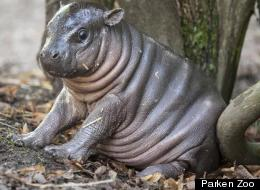 This Adorable Baby Hippo Has Won Our Hearts