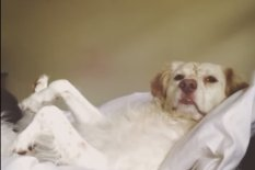 Amelia the Brittany spaniel | Pic: YouTube