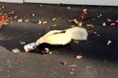 Skunk stuck in beer can
