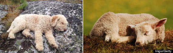 lambdog