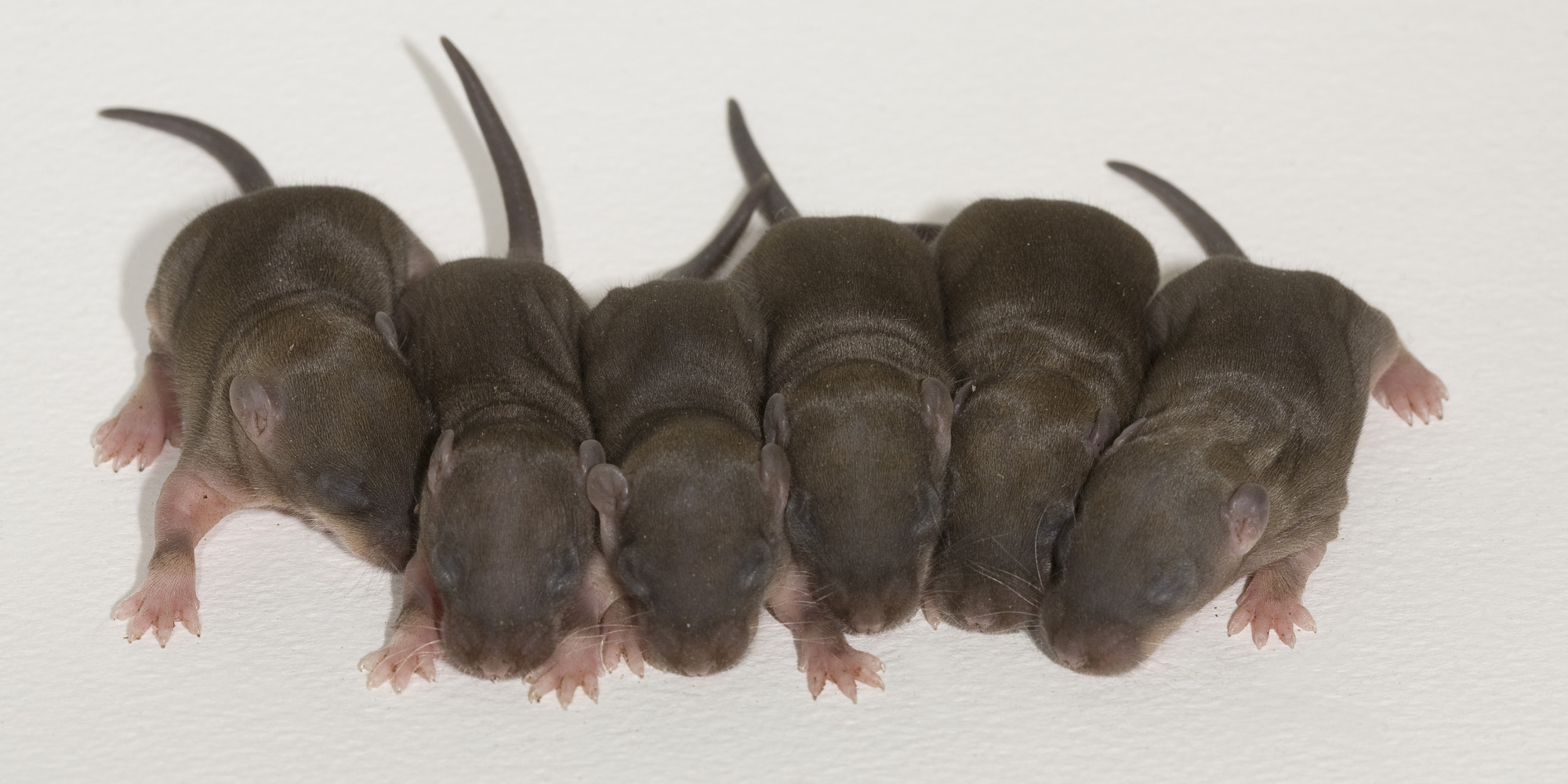 Newborn Baby Rats