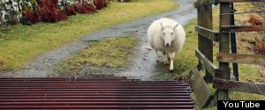 SHEEP CATTLE GRID