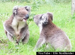 Koalas Get In Spat, Still Cannot Escape The Cuteness