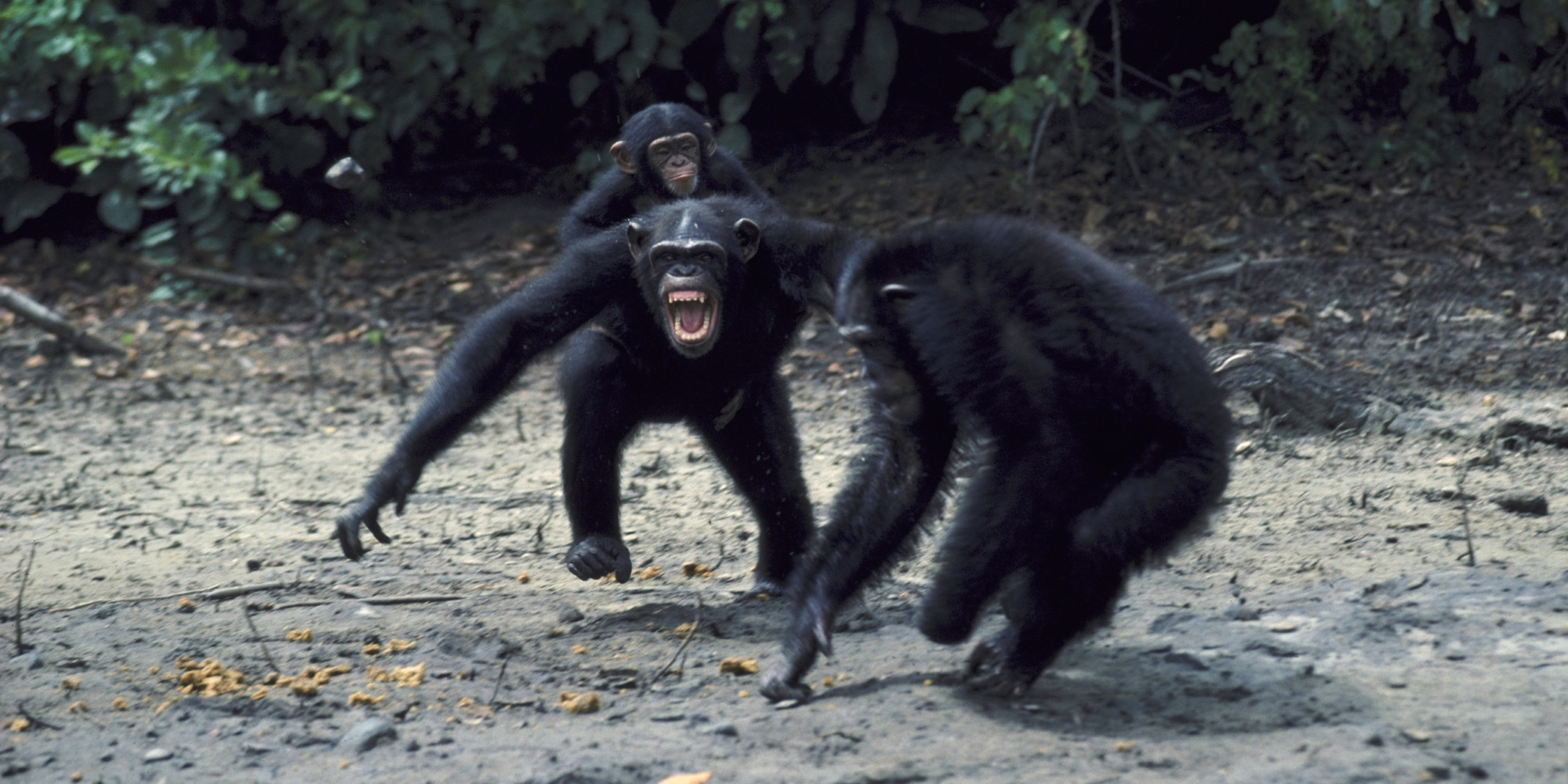 Chimpanzee pictures chimpanzees are all black but - Chimps May Look Cute But Controversial New Study Says They Re Natural Born Killers Huffpost