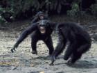 New Study Of Killer Chimps Sparks Major Debate
