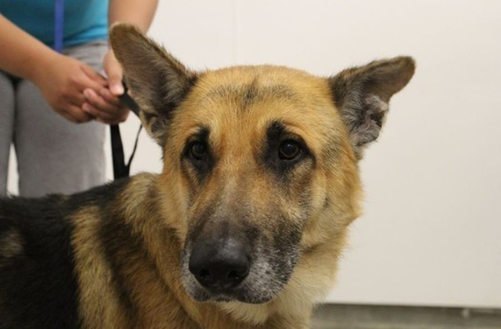 Retired Ailing Police Dog Brought To Shelter To Be
