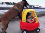 Dog Flexes Babysitting Muscles By Taking Little Boy For A Stroll