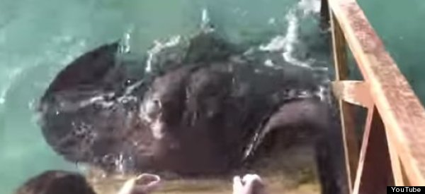 Delighted Stingray Jumps On Boat's Ramp For A Treat