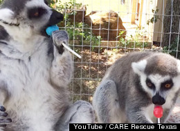 These Two Lemurs Really, Really Love To Lick Lollipops