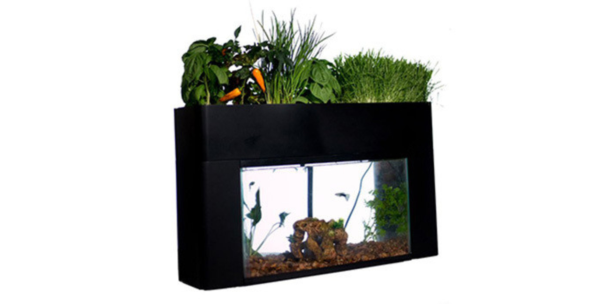 How to grow a vegetable garden that 39 s fertilized by your for Fish tank garden