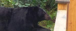 BLACK BEAR PORT COQUITLAM
