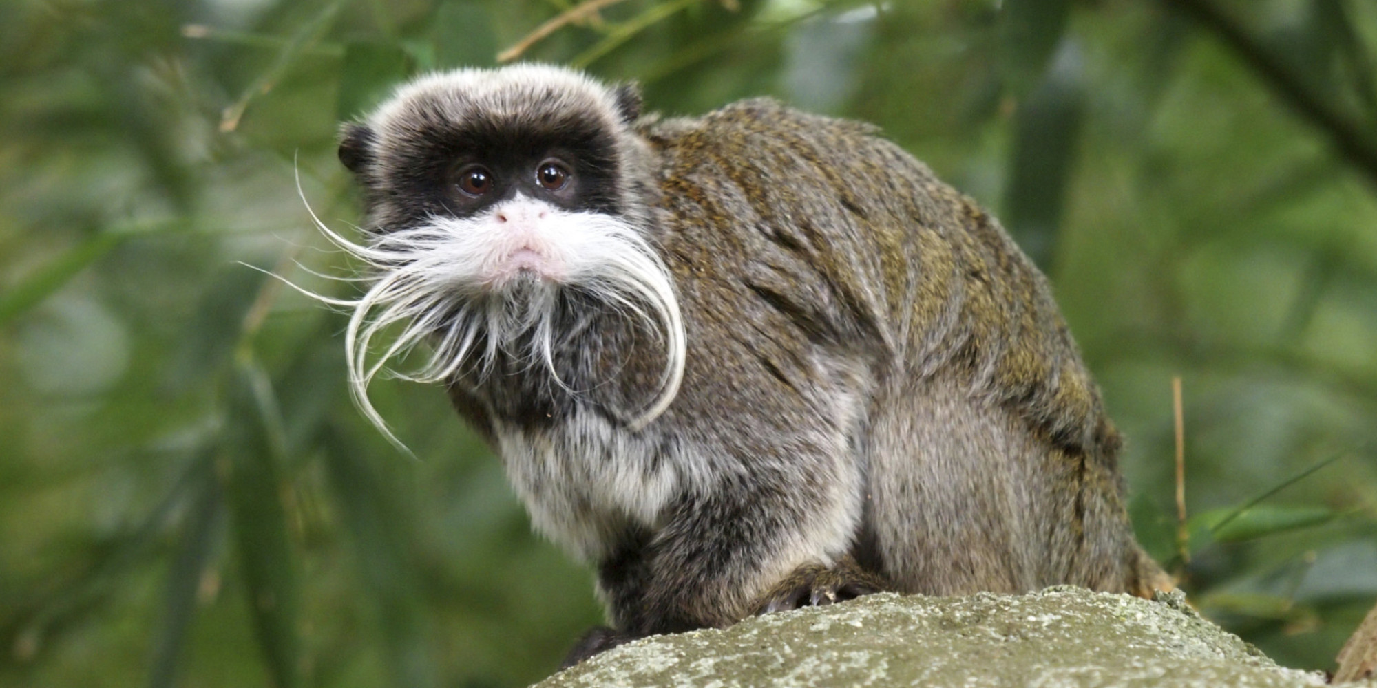 Beardy Monkey: What Can Monkeys Teach Hipsters About Beard Evolution