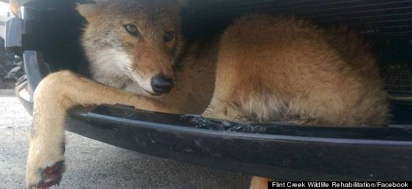 Coyote Found Wedged In Bumper After Being Hit By A Truck
